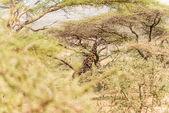 Giraffe in Serengeti National Park — Stock Photo