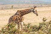 Жираф в Серенгети — Стоковое фото