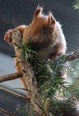Escalade et manger des écureuils — Photo
