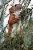 Little quirrel — Stock Photo
