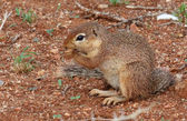 African squirrel — Stock Photo