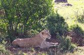 Löwe in afrika — Stockfoto