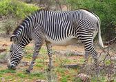 Zebras in Africa — Stock Photo