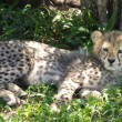 Cheetah with cubs — Stock Photo #61466971