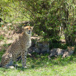 Cheetah with cubs — Stock Photo #61467295