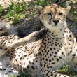 Cheetah with cubs — Stock Photo #61467437