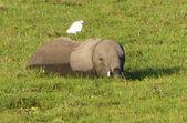 Elephants n Africa — Stock Photo