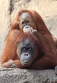 Orangutan — Stockfoto