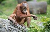 Cute little Orang Utan — Stock Photo
