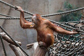 Cute little Orang Utan — Stock Photo