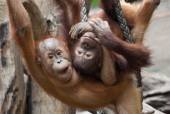 Cute little Orang-Utan — Stock Photo