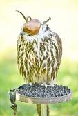 Falcon bird — Stock Photo