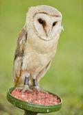 Siberian eagle owl — Stock Photo