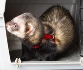 Little Ferret in his box — Stockfoto