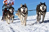 Musher hiding behind sleigh at sled dog race — Stock Photo