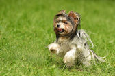 Biewer-Yorkshire terriers — Stock Photo