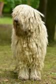 Retrato de perro komondor — Foto de Stock