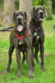 Great dane dogs — Stock Photo