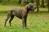 Cachorro Dogue alemão — Fotografia Stock