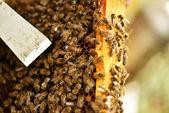 Trabajador abejas en panal — Foto de Stock