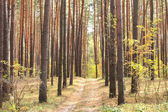Pine forest in autumn — Photo