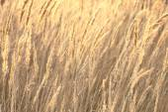 Sedge grass autumn back background — Stock Photo