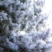 Pine branches covered with hoarfrost — Stock Photo