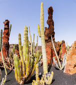 Cactus on Lanzarote, Canary islands, Spain — Stock Photo