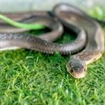 ������, ������: Cobra snake