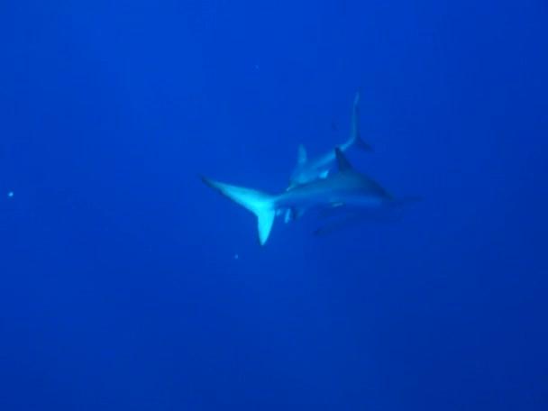 Tiburón azul (prionace glauca) — Vídeo de stock