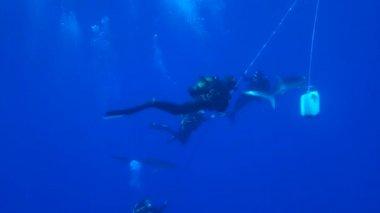 Žralok modravý (prionace glauca) — Stock video