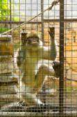 Caged Monkey with sad looking — Stock Photo