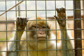 Closeup of caged Monkey with sad looking — Stock Photo