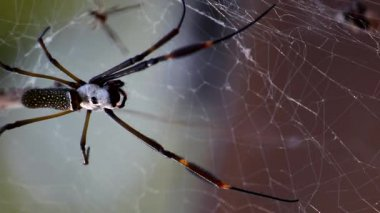 Golden Spider Weaver — Stock Video
