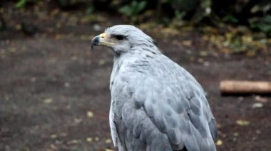 Crowned Eagle — Stock Video