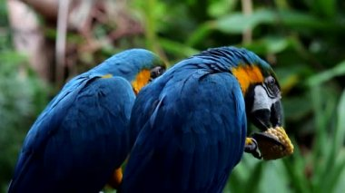 Blue-yellow macaw — Stock Video