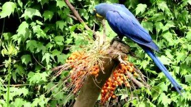 Hyacinth Macaw — Stock Video