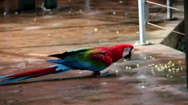 Red macaw — Stock Video