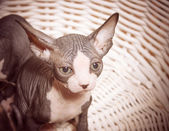 Serious Gray Little Sphynx looking at the Camera — Stok fotoğraf