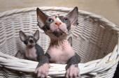 Grå Sphynx kattungar inuti en korg tittar upp — Stockfoto
