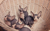Gray Sphynx Kittens Inside a Basket Looking Up — Stock Photo