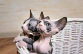 Sphynx Kittens Inside a Basket Looking Up — Stock Photo