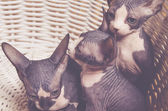 Little Gray Sphynx Kitten Inside the Basket — Stock Photo