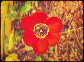 Grunge Red Tulip — Stock Photo