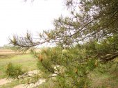 Pine Branch — Stock Photo