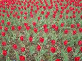 Lots of Red Tulips — ストック写真