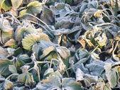 Strawberry Leaves with Hoarfrost — Zdjęcie stockowe