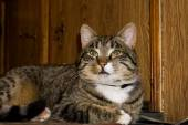 Tabby Cat Posing — Stock Photo