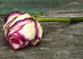 Roze witte roos — Stockfoto