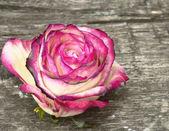 Rosa branca — Fotografia Stock
